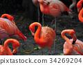 Flamingo bird in nature 34269204