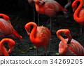 Flamingo bird in nature 34269205