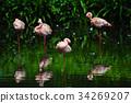 Flamingo bird in nature 34269207