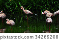 Flamingo bird in nature 34269208