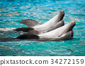 dolphin, bottlenose, aquatic 34272159