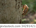 Molt of cicada on tree bark, exoskeleton cicada 34291421