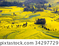 luoping, spring, field of rapeseed 34297729