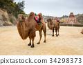 china, camel, yunnan province 34298373
