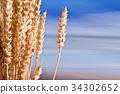 wheat closeup nature 34302652