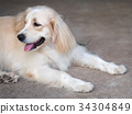 cute lovely white long hair young crossbreed dog 34304849