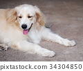 cute lovely white long hair young crossbreed dog 34304850