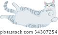 cat, pussy, american shorthair 34307254