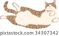 cat, pussy, american shorthair 34307342