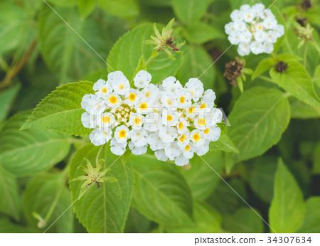 開花在沖繩島的小白色馬櫻丹屬花 34307634