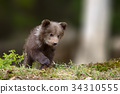 bear, wildlife, animal 34310555