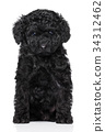 Toy poodle puppy on white 34312462