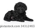 Poodle puppy (1 month) on white background 34312463
