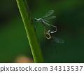 豆娘 蜻蜓 昆虫 34313537