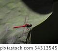 红蜻蜓 蜻蜓 昆虫 34313545