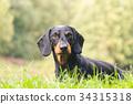 Portrait dachshund in nature 34315318