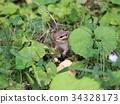 江之岛松鼠 花鼠 松鼠 34328173