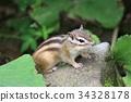 江之岛松鼠 花鼠 松鼠 34328178