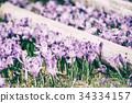 nature, flower, crocus 34334157