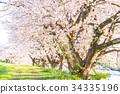 ดอกซากุระบาน,ซากุระบาน,ฤดูใบไม้ผลิ 34335196