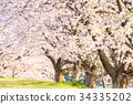 ดอกซากุระบาน,ซากุระบาน,ดอกไม้ 34335202