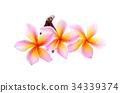 frangipani (plumeria) isolated on white background 34339374