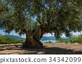 Shōdo, Island, olive 34342099
