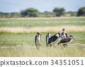 bird wildlife stork 34351051