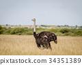 Ostrich standing in high grass. 34351389