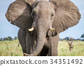 Elephant starring at the camera. 34351492