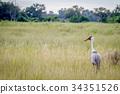 Wattled crane standing in the grass. 34351526