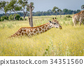 Giraffe sitting and eating grass. 34351560