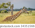 Giraffe sitting and eating grass. 34351566
