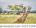 Giraffe sitting and eating grass. 34351568