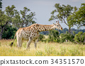 Giraffe walking in the grass with Oxpeckers. 34351570