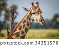 Close up of the head of a giraffe. 34351578