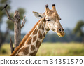Close up of the head of a giraffe. 34351579
