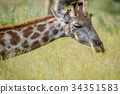 Close up of the head of a giraffe. 34351583