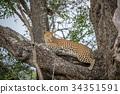 leopard, wildlife, predator 34351591