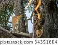 Leopard in a tree starring at the camera. 34351604