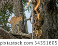 Leopard standing on a branch and starring. 34351605