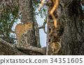 leopard, wildlife, predator 34351605
