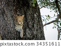 Leopard peeking out of a hole in a tree. 34351611