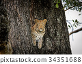 Leopard peeking out of a hole in a tree. 34351688
