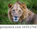Close up of the head of a male Lion. 34351746