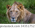 lion wildlife carnivore 34351752