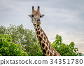 Giraffe starring at the camera. 34351780