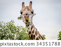 Close up of a Giraffe starring at the camera. 34351788