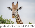 Close up of a Giraffe starring at the camera. 34351792