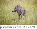 Warthog standing in between the high grasses. 34351793